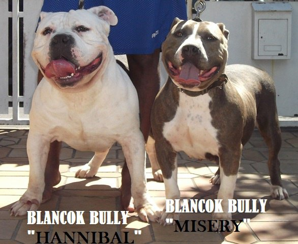 "BLANCOK BULLY ANNONCE "" BREEDING"" - 5 chiots disponibles"