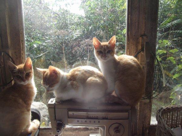les petites chattes skwattent la place de leur mère sur la machine à coudre