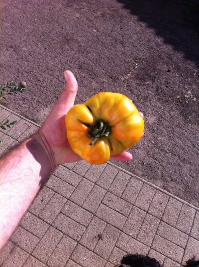 La tomate Ananas, que de chair, délicieuse!!!!