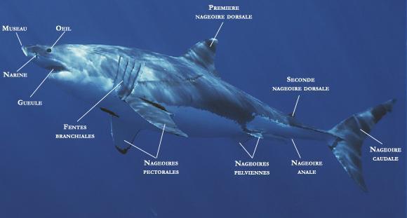 L'atomie d'un requin