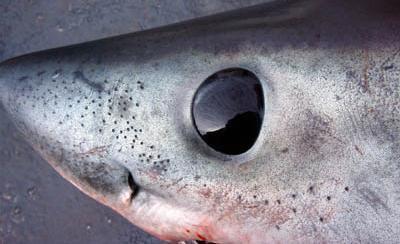 Les Ampoules de Laurenzini ou 6 ème sens des requins