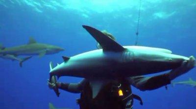 L'immobilité tonique du Requin