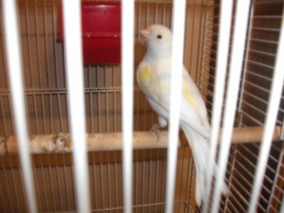 femelle de canari mosaique