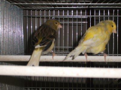 couple de canari