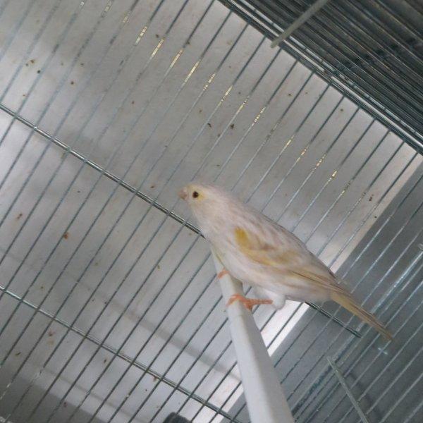 oiseaux 2013 isabelle mosaique jaune + satiné