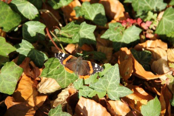 Papillon déploie ses ailes pour s'envoler