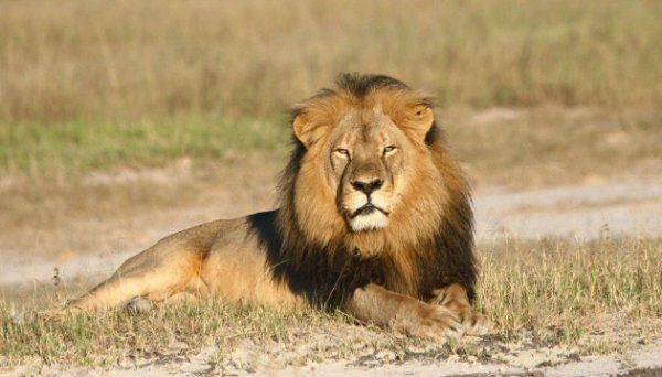 la mort du lion cecil en zimbabwe