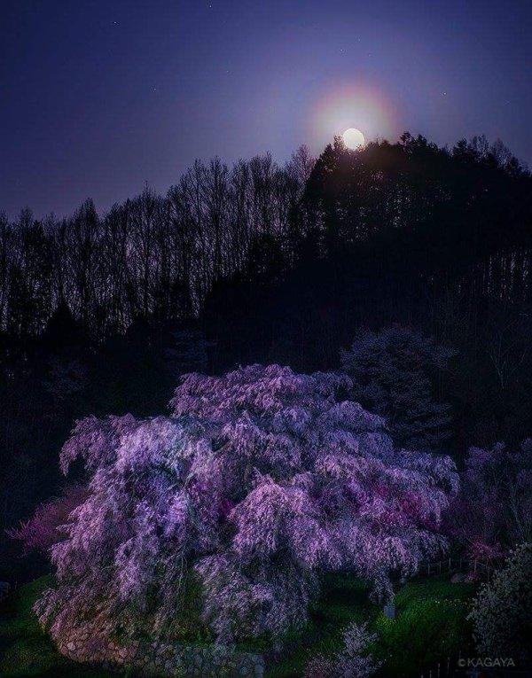 La beauté des sakura *^* <3
