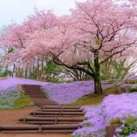 Sakura en fleur *^* <3