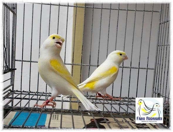 Femelle lipo jaune mosaique (ligne male)