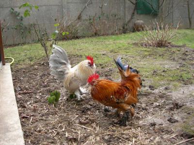 Deux coqs Barbu d'Uccle vivaient en paix
