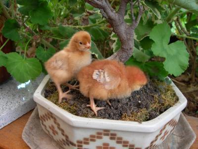 Deux poussins âgés d'une semaine de poule pondeuse rousse