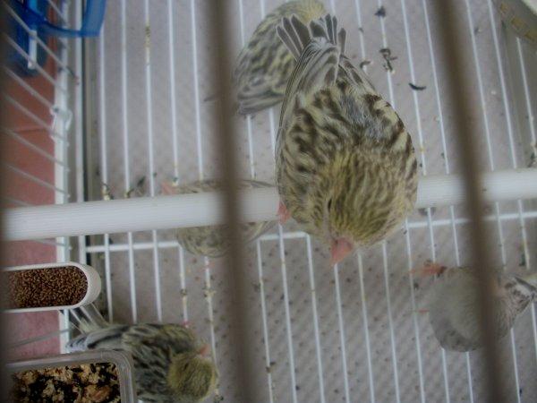 Una nidiata di Agata Topazio Giallo Mosaico