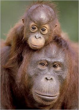Sauvons les grands singes !