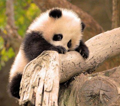 un autre bébé panda kawai