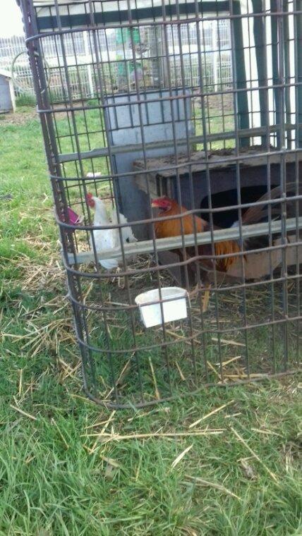 Coq en repro avec ma poule d'Espagne et une fille de la poule despagne