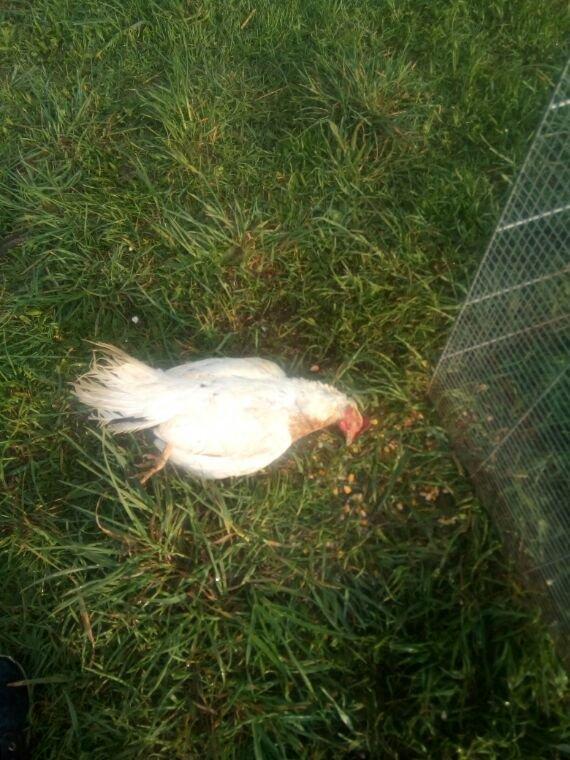Fille de ma poule despagne morte