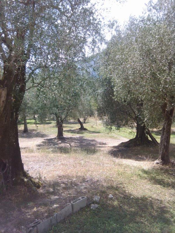 Dans une oliveraie