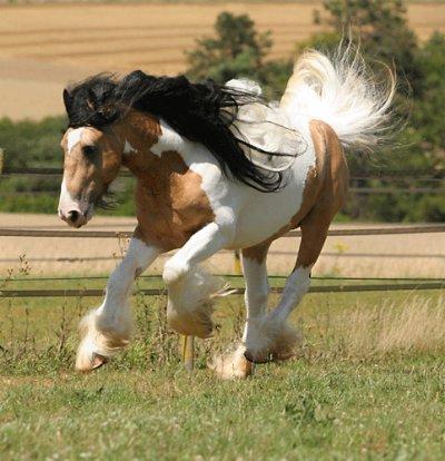 se cheval irish cob est magifique jadore sas robe et elle est rare en plus - voici le blog ...