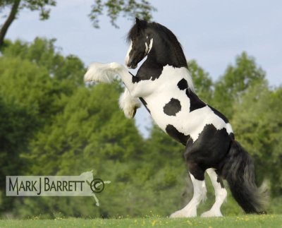 super blel photo de irish cob