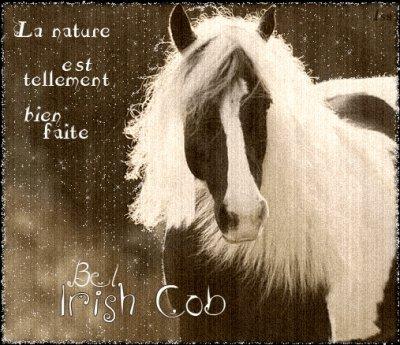 autre photo de irish cob