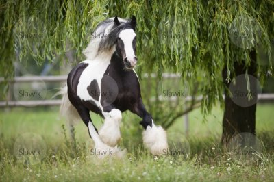 photo slawik trop belle !!!! irish  cob bien sur !!