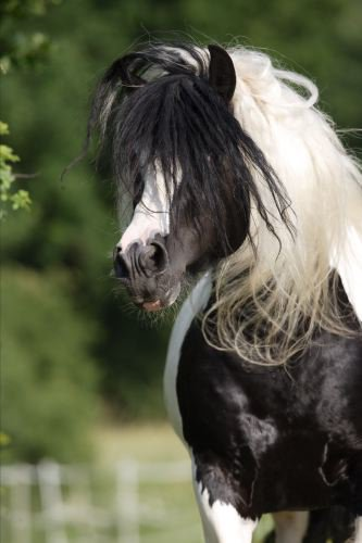 photo irish cob