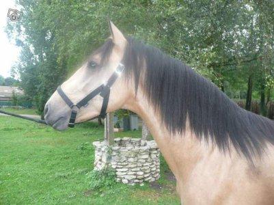 voici le cheval de mes reve , ma perle rare! il est magnfique, il est speldide , il a 0 defaut vraiment magnfique  meme si se n'est pas un irish cob