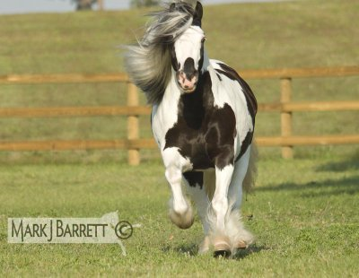 magnfique irish cob !