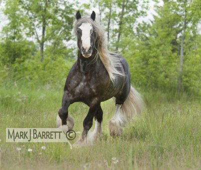 irish cob trop  bo ! trop belle robe