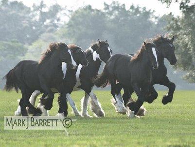 troupeau de irish cob