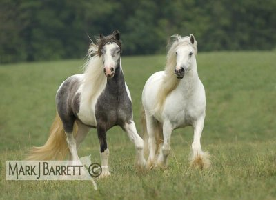 magnfique photo de irish  cob !