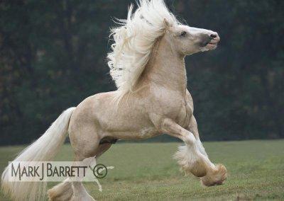 irish cob de toute les couleur le cheval des dieux !!!!!!
