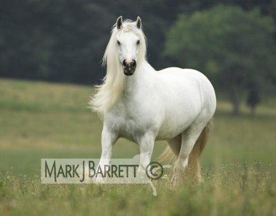 irish cob gris clair
