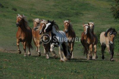 irish cob sauvage et en compagnie d'haflinger , poulain , jument etalon
