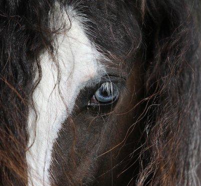pour le concour du plus bo cheval , trop belle ma photo c l'oeil d'une jument irihs cob