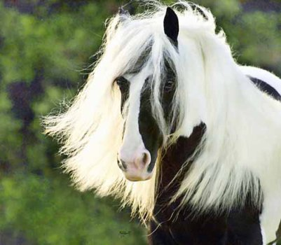 4 chevaux irish cob