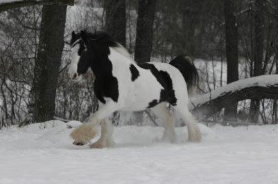 irish cob dans la neige , bientot noel !