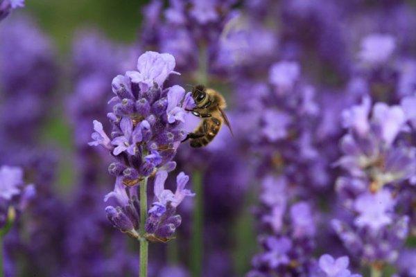 """"""" [Et voilà] ce que ton Seigneur révéla aux abeilles : """"Prenez des demeures dans les montagnes, les arbres, et les treillages que [les hommes] font. Puis mangez de toute espèce de fruits, et suivez les sentiers de votre Seigneur, rendus faciles pour vous. De leur ventre, sort une liqueur, aux couleurs variées, dans laquelle il y a une guérison pour les gens. Il y a vraiment là une preuve pour des gens qui réfléchissent. """" (Sourate an-Nahl, versets 68-69)"""