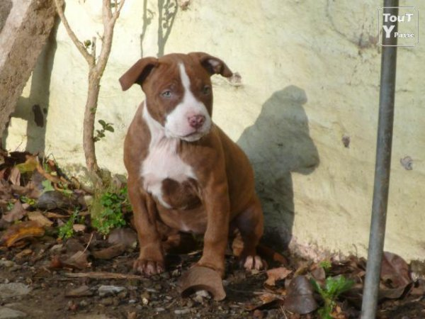 BB red nose pitbull terrier