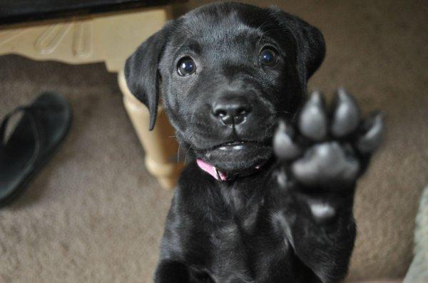 Petit labrador noir trop beau