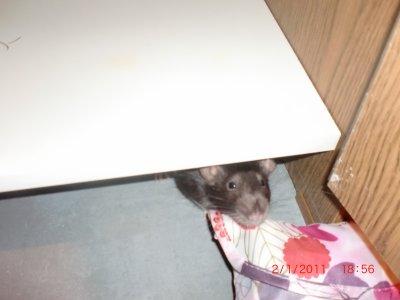 mes rats