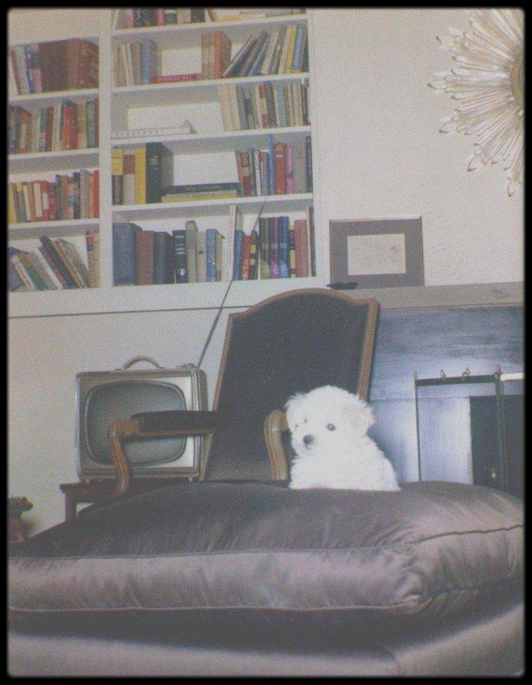 1961 / Maf HONEY / Nom du caniche blanc offert à Marilyn par Pat NEWCOMB (son attachée de presse) ; elle aurait acquis le chien par l'intermédiaire de Natalie WOOD, pour qui elle travaillait également et dont la mère élevait des caniches. Au 5th Helena Drive (dernière et seule maison de Marilyn), il avait sa propre chambre et dormait sur un vieux manteau en castor, qu'Arthur MILLER avait offert à Marilyn. Après la mort de Marilyn il fut recueilli par Gloria LOVELL, la secrétaire de Frank SINATRA. (Photos Eric SKIPSEY).