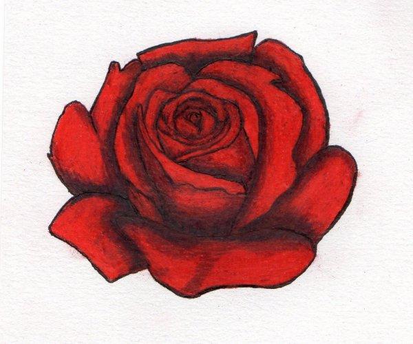 Dessin de rose 2