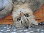 """""""Comme quiconque les a un tant soit peu fréquentés le sait bien, les chats font preuve d'une patience infinie envers les limites de l'esprit humain. """"  Cleveland Amory"""