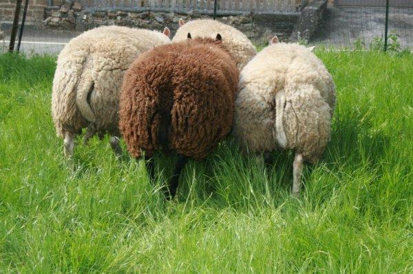 Mes derniers agneaux texel  et texel bleus