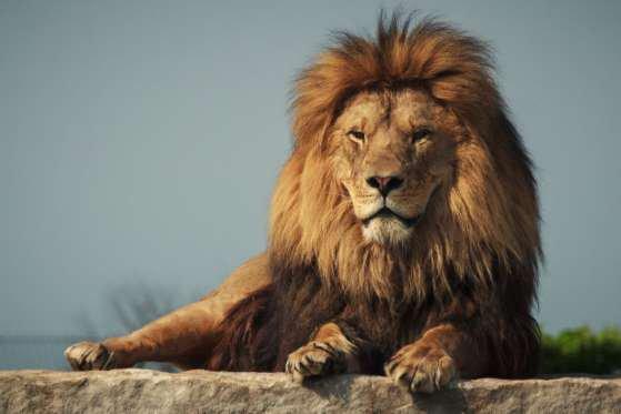 ^^ Le Roi de la Jungle : 15 faits méconnus sur les Lions : 1ère Partie. ^^