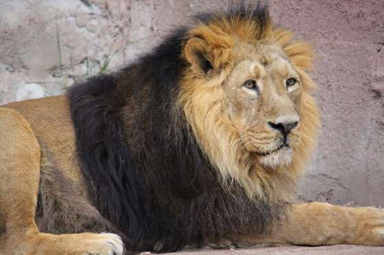 ^^ Le Roi de la Jungle : 15 faits méconnus sur les Lions : 2ème Partie. ^^