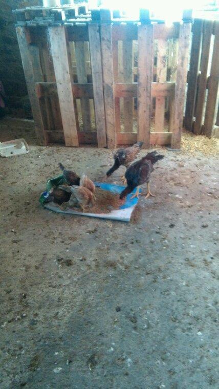 Le Poulette et le coq