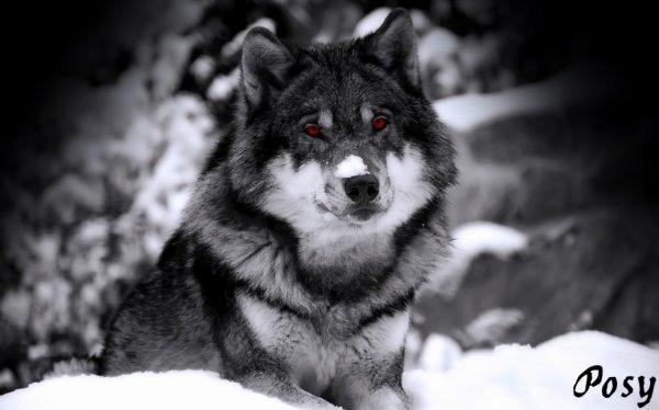 Le meilleur animal du monde le loup (l)
